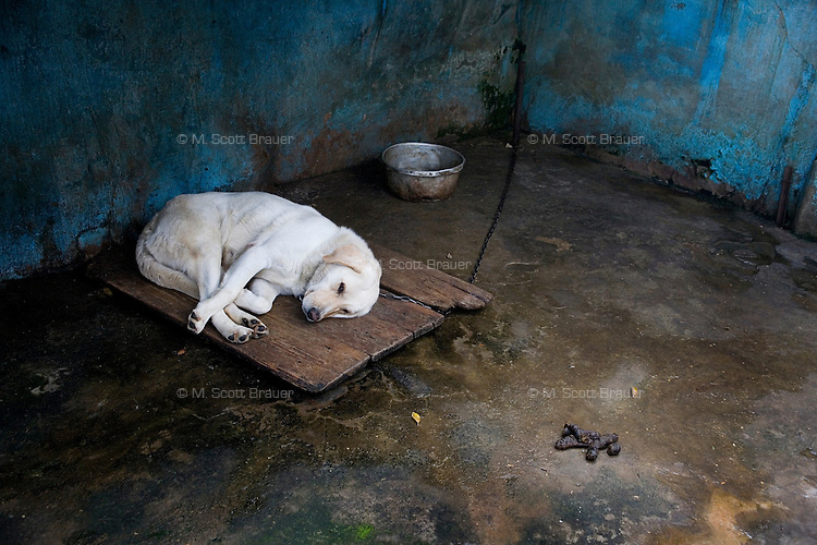 A labrador retriever lays chained to a wall on a pallette in a dirty cage in the Kunming Zoo in Kunming, Yunnan Province, China.