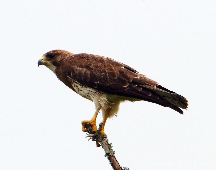 Swainson's hawk adult