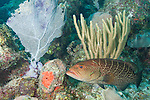 Gardens of the Queen, Cuba; a Tiger Grouper fish tucked into the coral reef is being cleaned by two yellow and black cleaning goby