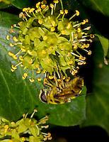 Death's Head or Dead Head Hoverfly - Myathropa florea - female