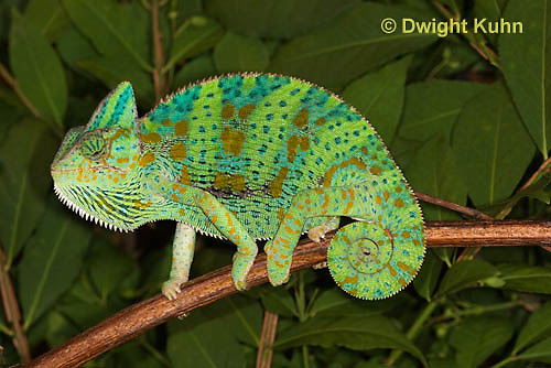 CH39-514z  Female Veiled Chameleon in display colors, Chamaeleo calyptratus