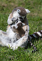 16/05/16<br /> <br /> &quot;Time to give you a wash little one&quot;<br /> <br /> Three baby ring-tail lemurs began climbing lessons for the first time today. The four-week-old babies, born days apart from one another, were reluctant to leave their mothers&rsquo; backs to start with but after encouragement from their doting parents they were soon scaling rocks and trees in their enclosure. One of the youngsters even swung from a branch one-handed, at Peak Wildlife Park in the Staffordshire Peak District. The lesson was brief and the adorable babies soon returned to their mums for snacks and cuddles in the sunshine.<br /> All Rights Reserved F Stop Press Ltd +44 (0)1335 418365