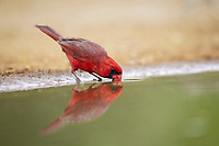 northern cardinal, Cardinalis cardinalis, adult male, drinking, Texas, USA, North America