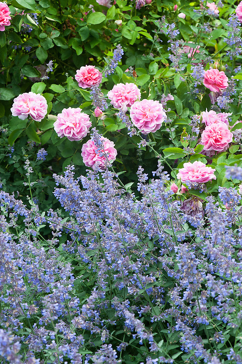 Rosa The Countryman ('Ausman') and Nepeta 'Six Hills Giant', late June.