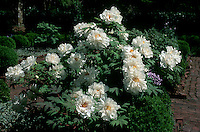 Peony Renkaku suffruticosa tree peonies in flower in May