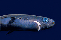 pygmy shark, Euprotomicrus bispinatus, adult female, 24 cm, specimen, Kona, Big Island, Hawaii, USA, Pacific Ocean