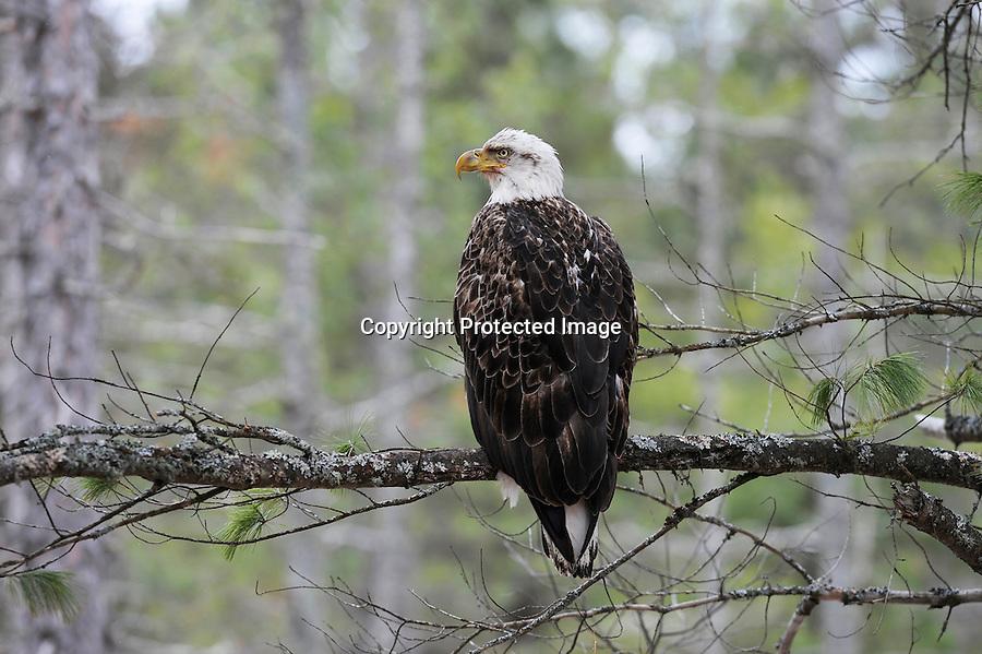bald eagle, North America