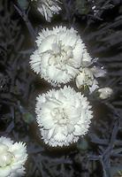 Dianthus Devon Dove white flowers