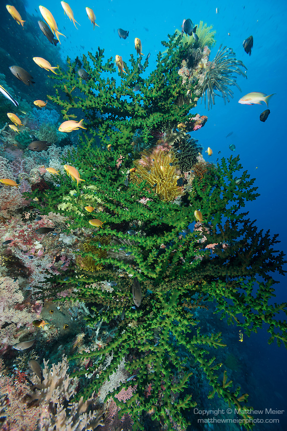 Anda, Bohol, Philippines; Anthias and Damselfish swimming amongst large colonies of black sun corals and feather stars growing on the wall