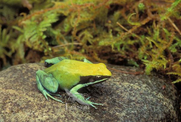 GREEN MANTELLA..Native to northern Madagascar..Captive. (Mantella viridis).