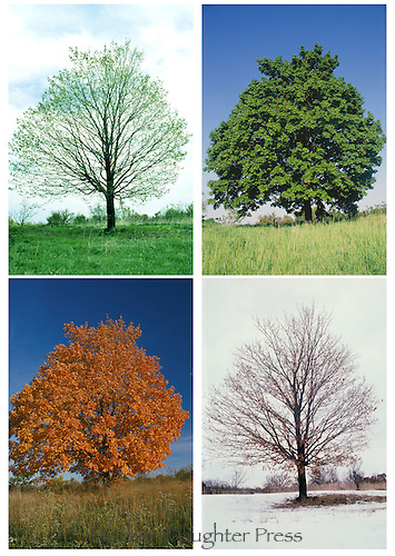 Four seasons of the Maple tree, Acer species,  in its annual cycle spring through winter where it grows alone with all the sun but no cover-full and strong