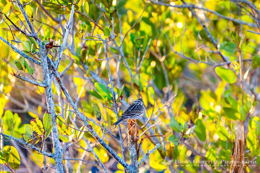 US, Florida, Merritt Island National Wildlife Refuge, Black Point Wildlife Drive. Song Sparrow.