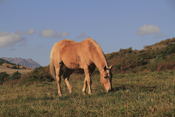 Golden horse grazing the the San Juan Mountains near Telluride, Colorado, USA.