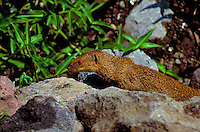 The introduced mongoose, known for eating groun-laying eggs of native birds
