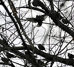Birds gathered in the trees seen on a walk along the Saugerties Lighthouse trail in Saugerties, NY on Thursday, March 9, 2017. Photo by Jim Peppler. Copyright Jim Peppler 2017.