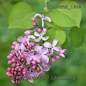 Gisela, FLOWERS, BLUMEN, FLORES, photos+++++,DTGK1908,#f#