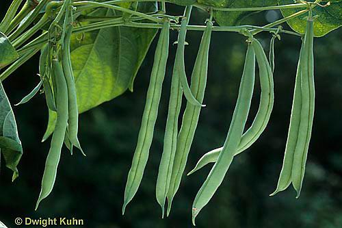 HS30-004d  Bean - Provider variety