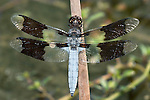 Dragonfly, Common Whitetail, Libellula lydia, Top Down View