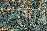 Seaweed, Ascophyllum nodosum, Maine, USA