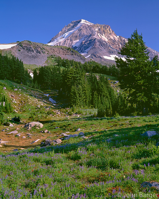 ORCAN_090 - USA, Oregon, Mount Hood National Forest, Mount Hood Wilderness, Summer meadow of lupine blooms beneath the north side of Mount Hood, near Wy'East Basin.