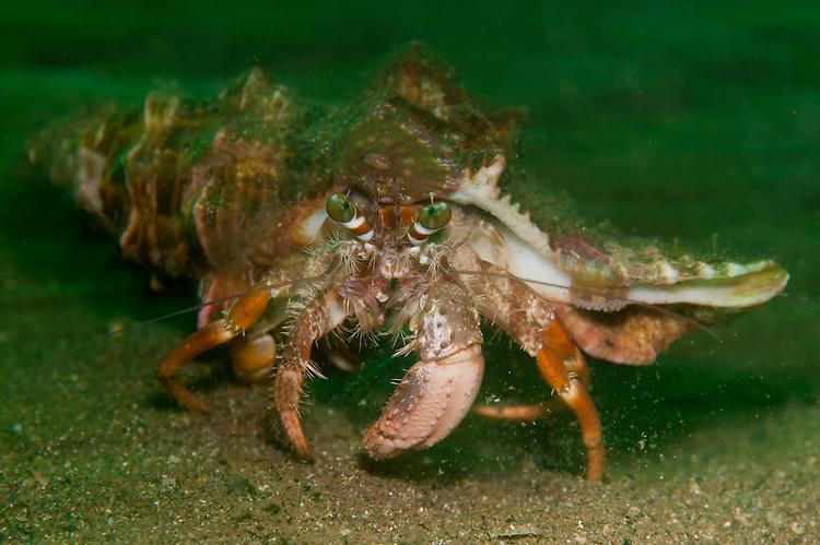 Anemone hermit crab: Dardanus pedunculatus, showing very small anemone growth on shell above eye, running across sand in green light, Komodo National Park