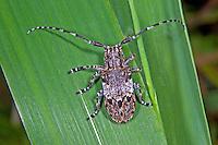 Graubindiger Augenfleckbock, Binden-Augenfleckenbock, Binden-Augenbock, Mesosa nebulosa, Whiteclouded longhorn beetle, White-clouded Longhorn Beetle