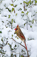 01530-20904 Northern Cardinal (Cardinalis cardinalis) female in American Holly (Ilex opaca) in winter, Marion Co., IL
