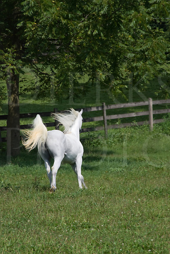 White Arabian stallion running downhill and away in a green summer pasture with tail up flagging and mane flying.