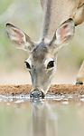 Texas, Rio Grande Valley, Santa Clara Ranch, White-Tailed Deer