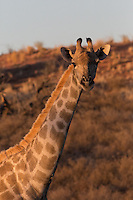 Giraffe at sunset in the Kgalagadi Transfrontier Park in South Africa