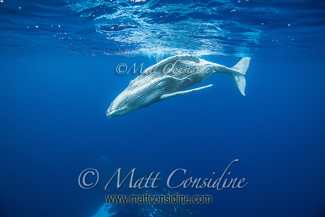 Humpback whale frolicking above its mother. (Photo by Underwater Photographer Matt Considine)