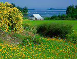 Orcas Island, WA     © Terry Donnelly  /<br /> Field of yellow flowers and weathered barn at Buck Bay