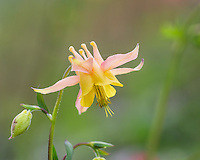 Yellow mountain columbine, Yellow columbine, Golden columbine (Aquilegia flavescens).      Aquilegia flavescens sometimes forms hybrid swarms with A . formosa var. formosa , which grows at lower elevations through much of its range. Intermediate specimens having pinkish red flowers and petal blades 5-6 mm are occasionally found where these species grow together. The name A . flavescens var. miniana has sometimes been mistakenly applied to these intermediates, but the type of var. miniana is a typical, pink-sepaled plant of A . flavescens.