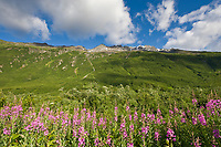 Fireweed in summer bloom, green slopes of the Chugach mountains along the Richardson highway, Alaska.