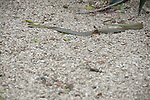 snake on the street in puerto lopez ecuador