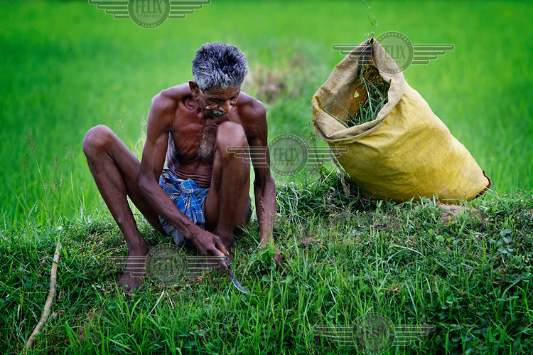 A man tends to his rice patties in West Bengal.