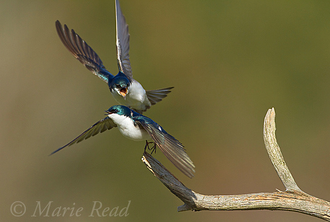 Tree Swallows (Tachycineta bicolor), aggressive interaction between two birds near a nest site, New York, USA