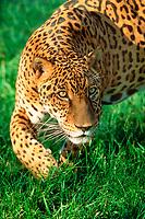 jaguar, Panthera onca, Pantanal, Mato Grosso do Sul, Brazil