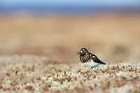 Black Turnstone (Arenaria melanocephala) giving alarm call. Yukon Delta National Wildlife Refuge, Alaska. June.