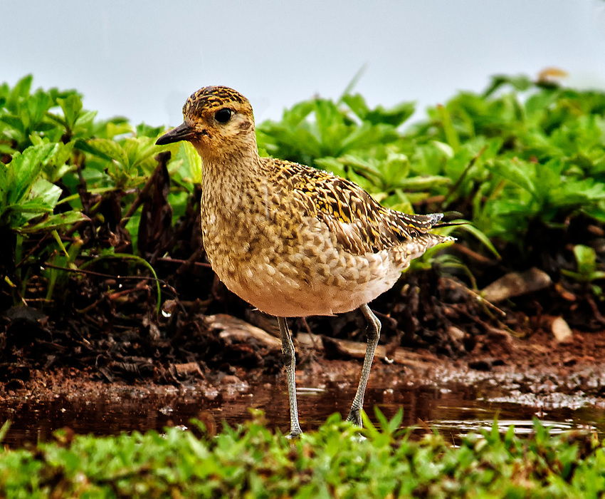 A Pacific golden plover, seen here in non-breeding plumage. This remarkable bird migrates each year from its summer breeding grounds in Alaska to Hawaii, a distance of 3,000 miles, nonstop over open ocean in 3 to 4 days. It returns to Alaska by the same route in the spring.