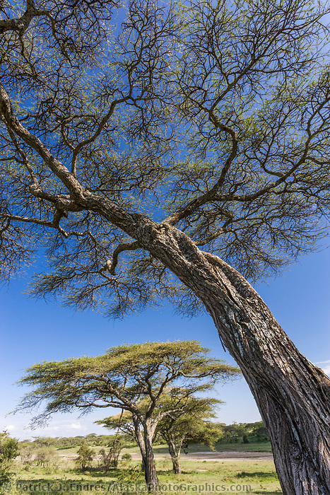 Acacia trees in the Serengeti National Park, Tanzania, East Africa