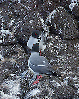 Swallow-tailed couple kissing [touching beaks] with their beautiful breeding colors of grey and white markings enhanced by their red eye-rims and feet stand out against a background of dark lava rocks in Galapagos. Mating pairs frequently stay together from year to year.