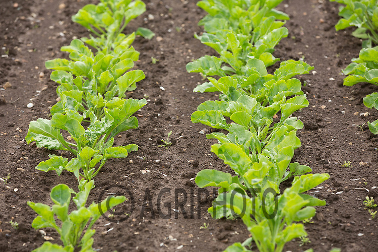 Sugar Beet  plants <br /> Picture Tim Scrivener 07850 303986