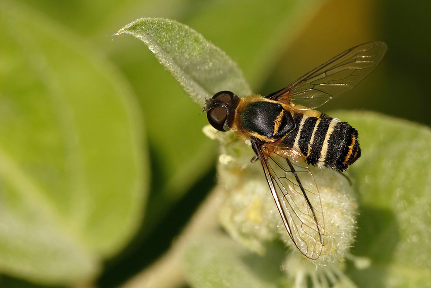 Bee Flies have hairy bodies and long, slender legs. Wings are reminiscent of the best swept-wing fighter jets.