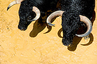 Fighting bulls kept in the corral behind the bullfighting arena before Corida de Toros, Torremolinos, Spain, 28 July 2006.