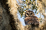 Brazoria County, Damon, Texas; an adult Barred Owl perched on a branch of a large, live oak tree, surrounded by spanish moss, in late afternoon sunlight