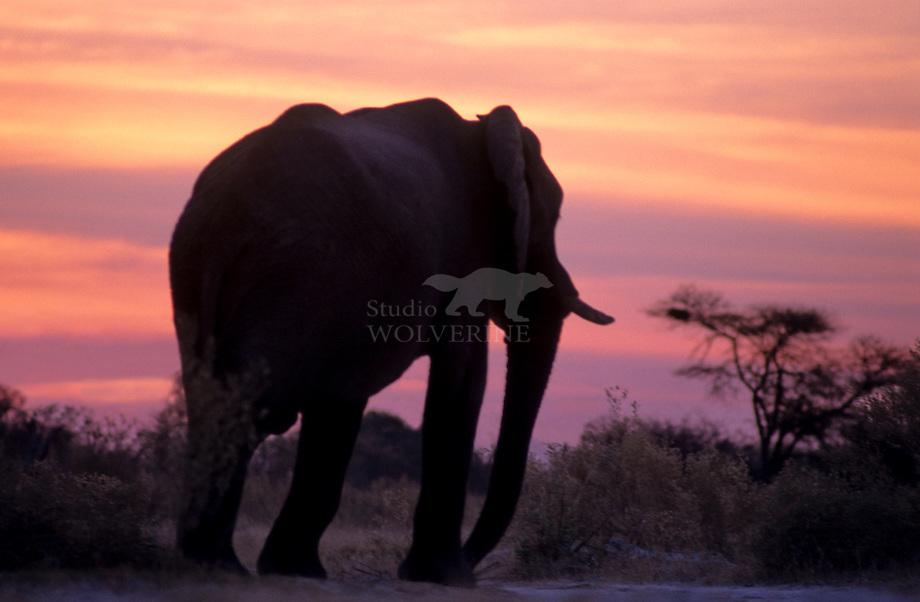 Afrikaanse olifant (Loxodonta africana)