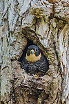 Bat Falcon (Falco rufigularis), Pantanal, Mato Grosso, Brazil