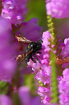 Carpenter Bee on Foxglove, Southern California