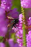 Carpenter Bee on Foxglove, Southern California
